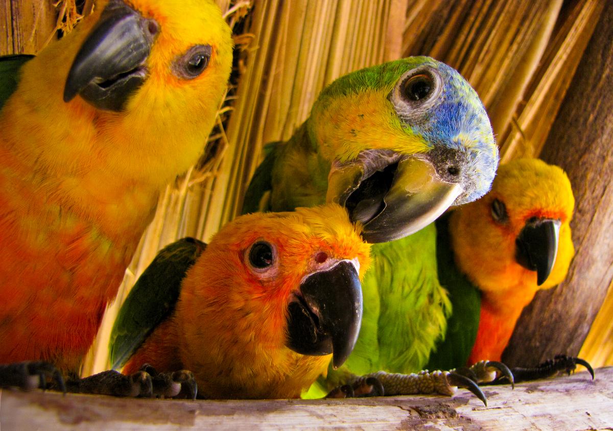 Papagaísmo