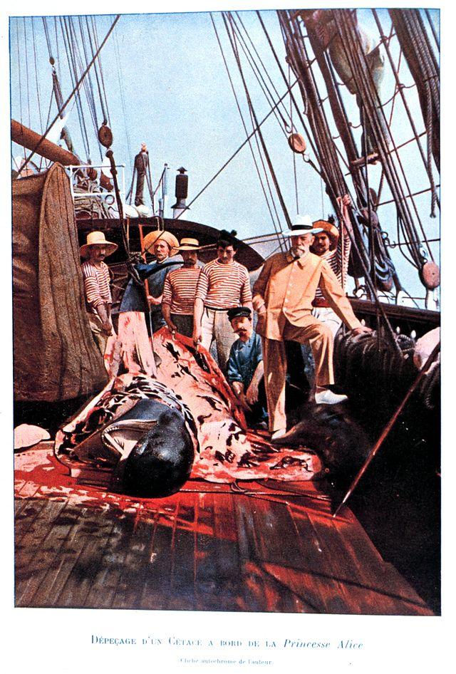 Alberto I, Príncipe do Mónaco, observa a desmancha de uma baleia-piloto ao largo do Pico, Açores